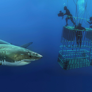 A diver filming a great white shark while standing on a cage