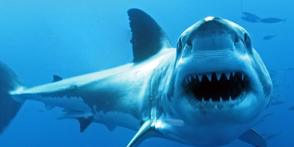 Great White Shark turning head with opened mouth