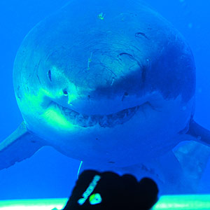 Great White Shark staring at diver inside cage