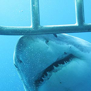 Great White Shark swimming past cage