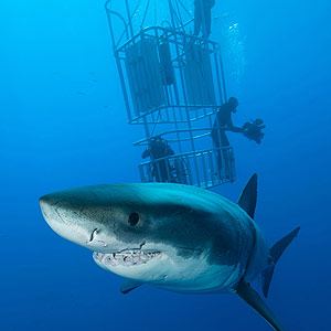 Great white shark with cage and divers behind it