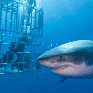 Great white shark swimming next to divers who are inside cages