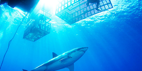 Fish eye photo of a great white shark outside the shark cage