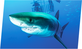Great White Shark swimming towards camera