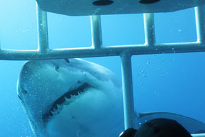Great white shark peeking through cage