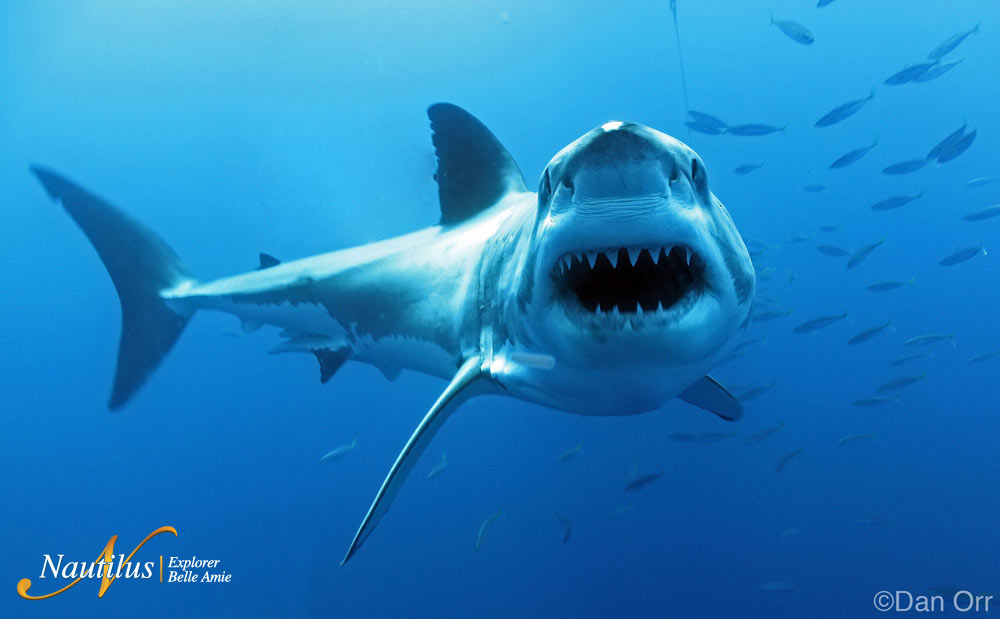 Great White Sharks Of Guadalupe Island Go Face To Face In - Great white shark range us map