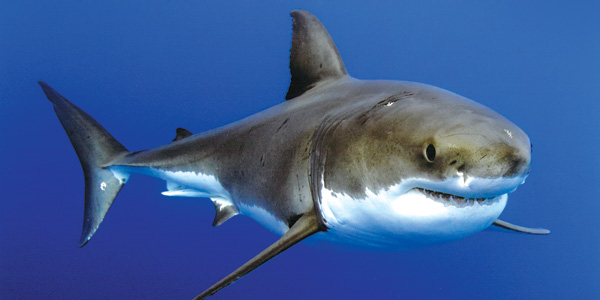 great white sharks of guadalupe island go face to face in photo bea metzger photo geri murphy