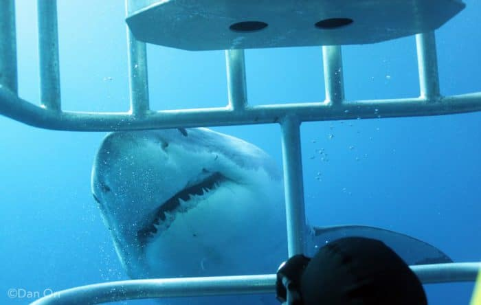 Guadalupe Island Great White Sharks Diving - Nautilus Dive