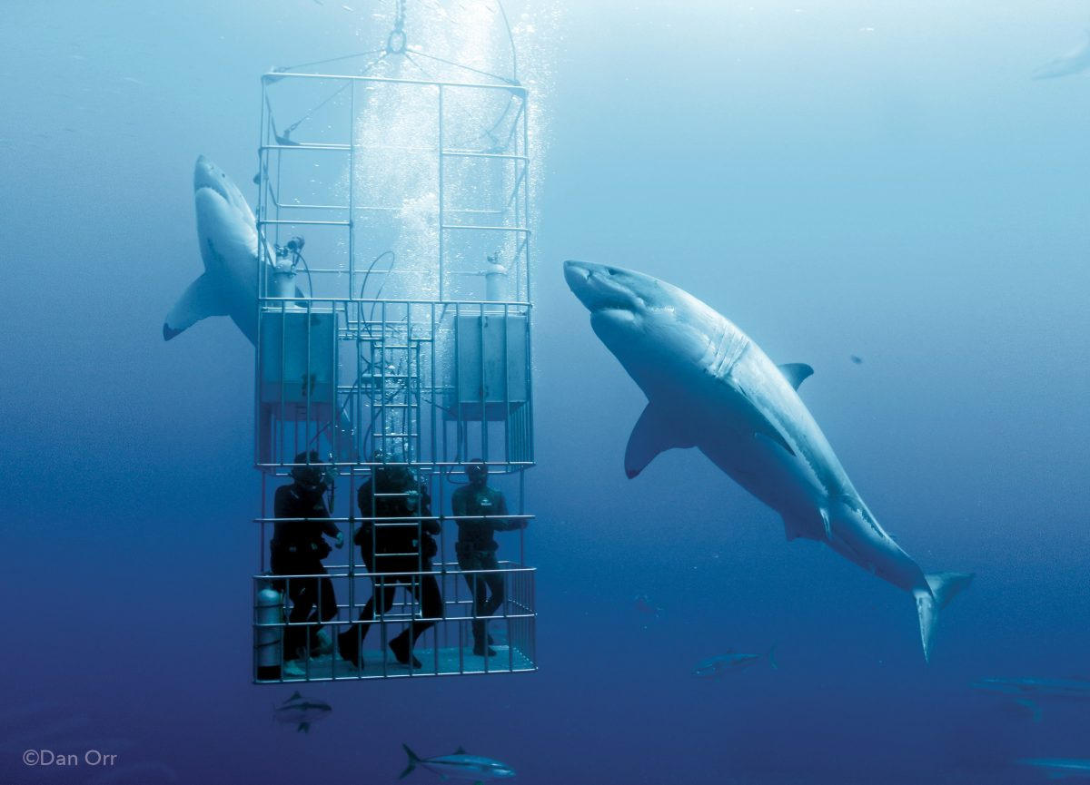 Great White Shark staring diver cage diving