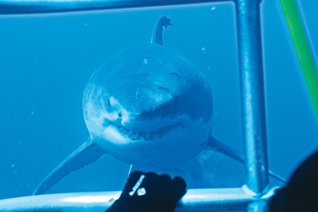Great White Shark staring a diver inside cage
