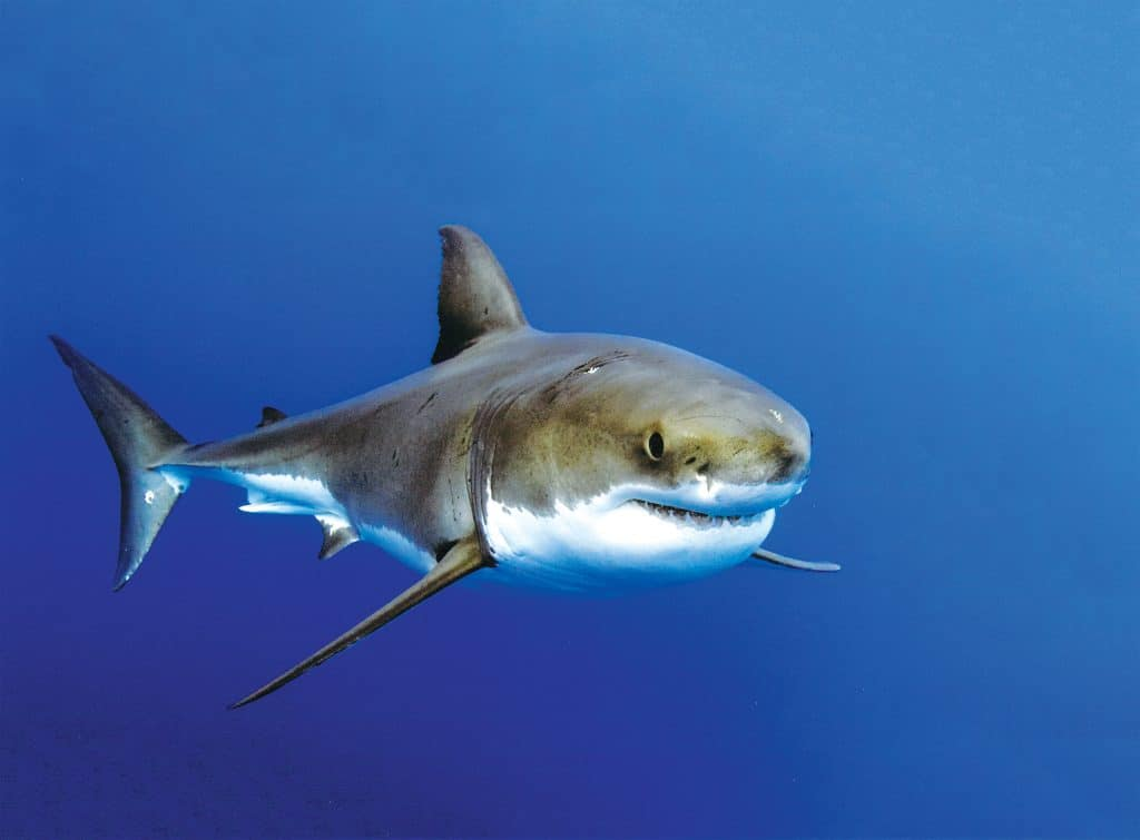Guadalupe Island Great White Shark diving